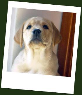 Cuccioli Labrador Disponibili Allevamento A Cesena Emilia Romagna